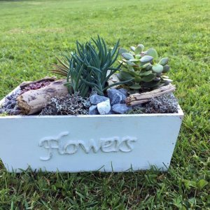 Floristik Kurse Holzgefässe mit Sukkulenten bepflanzt SILBERKNOSPE